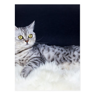 British Shorthair Silver Tabby Cat Gifts On Zazzle Nz