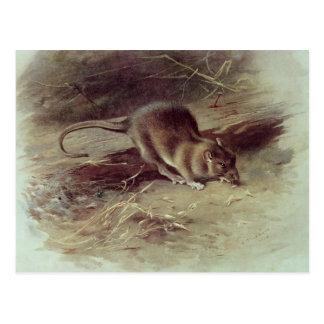 Brown Rat  1918 Postcard