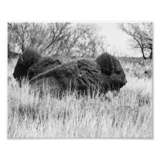 Buffaloes Photo Print