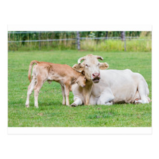 Bull calf loves mother cow in meadow postcard