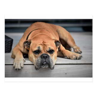 Bull Dog Postcard