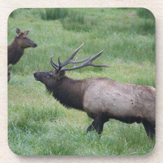 Bull Elk & Harem Coaster
