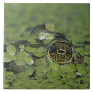 Bullfrog, Rana catesbeiana, adult in duckweed Tile