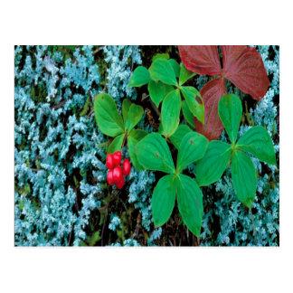Bunch berries postcard