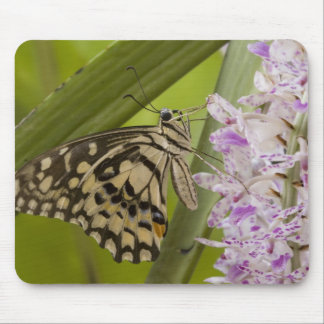 Burma, Tachileik, Lime buterfly Papilio Mouse Pad