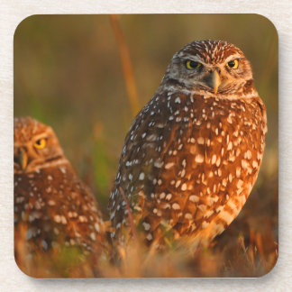 burrowing owl couple drink coasters