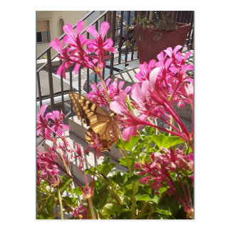 Butterfly visiting the Geraniums Postcard