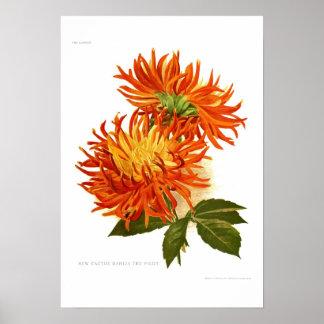 Cactus Dahlia Poster