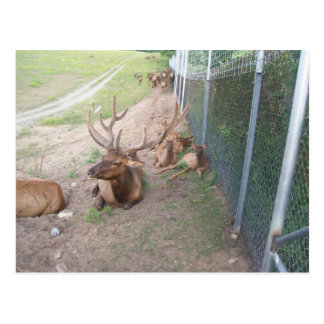 caged deer elk reindeer postcard