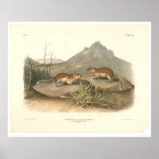 California Marmots by Audubon (0184A) Poster