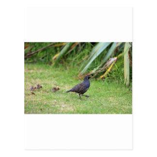California quail postcard