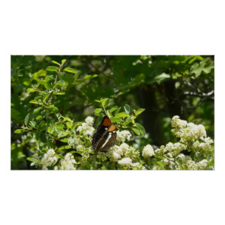 California Sister Butterfly Nature Photography Poster
