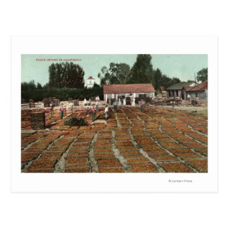 CaliforniaView of Peaches Drying in the Sun Postcard