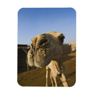 Camel market, Cairo, Egypt Rectangular Photo Magnet