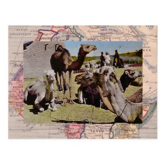 Camels for hire postcard