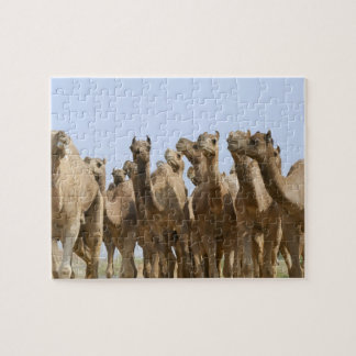 Camels in the desert, Pushkar, Rajasthan, India Jigsaw Puzzle