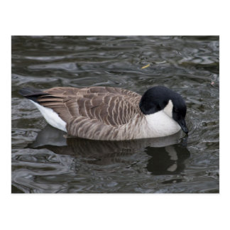 Canada Goose floating on vivid water Postcard