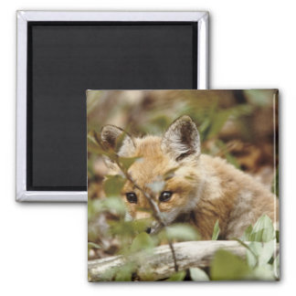 Canada, Point Pelee National Park. Young red fox Magnet