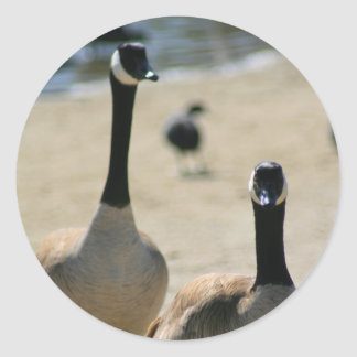 Canadian Geese Walking Sticker