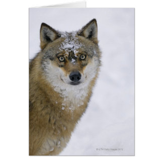 Canis lupus, Looking at Camera, Germany, Europa Card