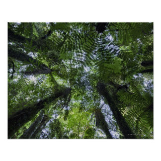 Canopies of ponga trees in lush native bush poster