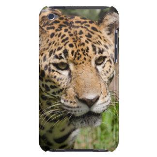 Captive jaguar in jungle enclosure 2 iPod Case-Mate cases