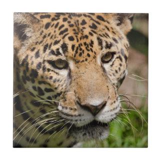 Captive jaguar in jungle enclosure 2 tile
