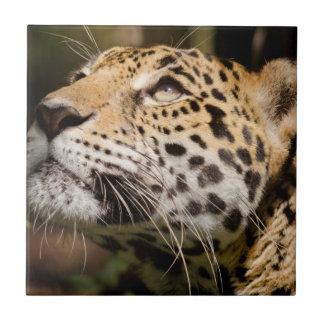 Captive jaguar in jungle enclosure 3 tile