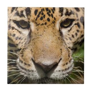 Captive jaguar in jungle enclosure tile