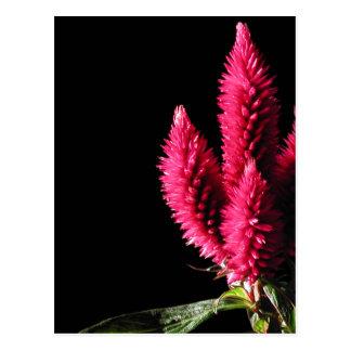 Celosia Caracas. Cockscombs. Pink Flowers. Postcard