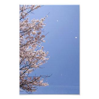 Cherry blossom blizzard (Hanafubuki) Photo Print