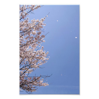 Cherry blossom blizzard (Hanafubuki) Photo Art