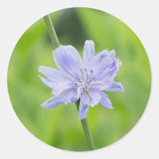 Chicory Blue Wildflower Floral Sticker