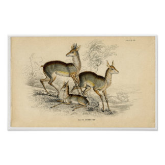 Classic Zoological Etching - Salts Antelope Poster