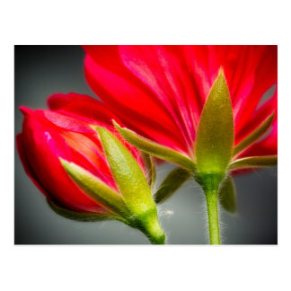 Close-up of vining geranium from back of flower postcard