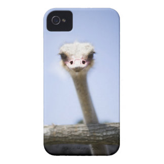 Close up Ostrich head iPhone 4 Cases