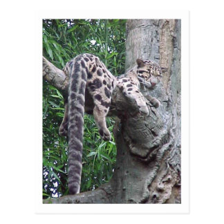 Cloud Leopard Postcard