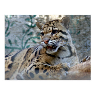 clouded leopard-1 4x6 post card