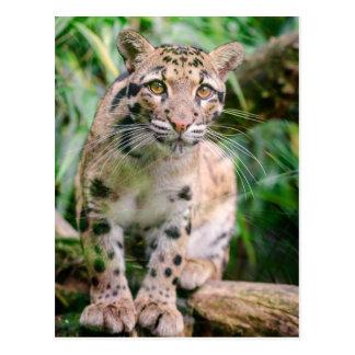 Clouded Leopard beautiful close-up photo postcard