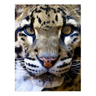 Clouded leopard detail postcard