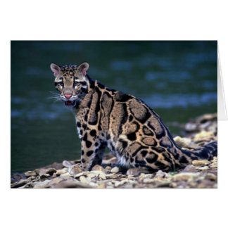 Clouded Leopard-eye contact Card