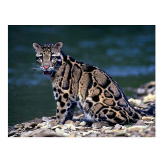 Clouded Leopard-eye contact Postcard
