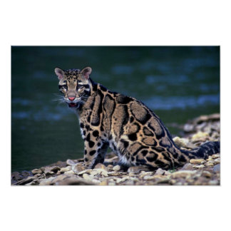 Clouded Leopard-eye contact Poster