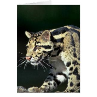 Clouded leopard, head shot card