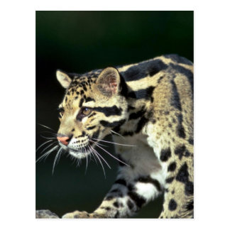 Clouded leopard head shot post cards