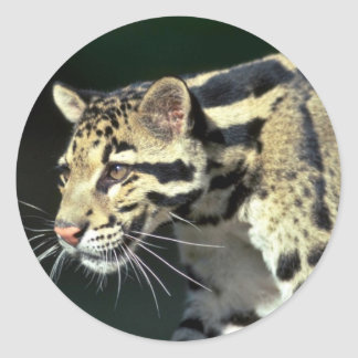 Clouded leopard, head shot round stickers