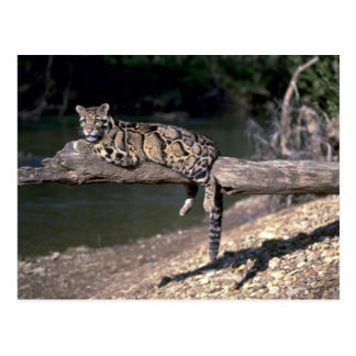 Clouded leopard on log post card