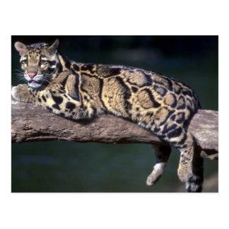 Clouded Leopard on log Post Cards