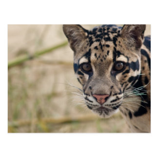 Clouded leopard post card