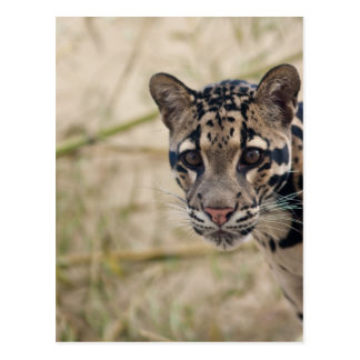 Clouded leopard post cards